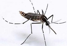 Waspadai Wabah Cikungunya Di Klaten