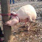 Balita Di China Dimakan Babi, Kemana Orang Tuanya?