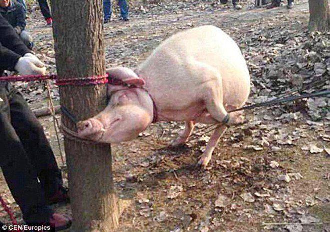 balita china dimakan babi
