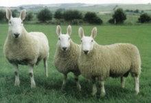Wow Ternyata Ada Pria Yang Bercinta dengan Domba