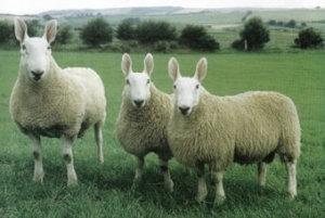 pria bercinta dengan domba