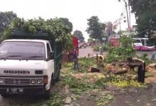 Penebangan Pohon di Ngaliyan Bikin Macet Panjang